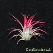 Tillandsia Ionantha Fuego from craftyplants
