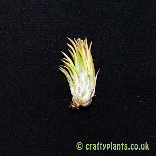 tillandsia ionantha hazelnut air plant from craftyplants