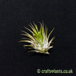 tillandsia ionantha ionantha airplant from craftyplants