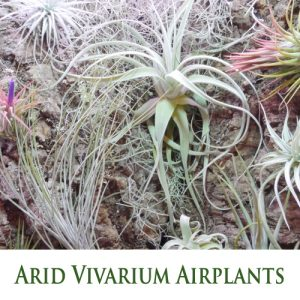 Tillandsia (Airplants) for Arid Vivarium - Hot and dry Xeric Habitat