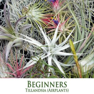 Beginners Tillandsia Airplants