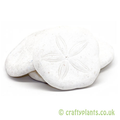 Clypeaster Humilis (Sand Dollars) from craftyplants