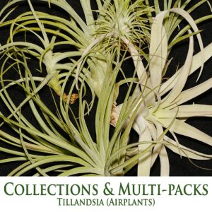 Tillandsia Airplants Collections/ Multipacks