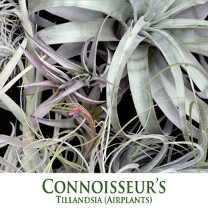 Connoisseur's Choice Tillandsia Airplants