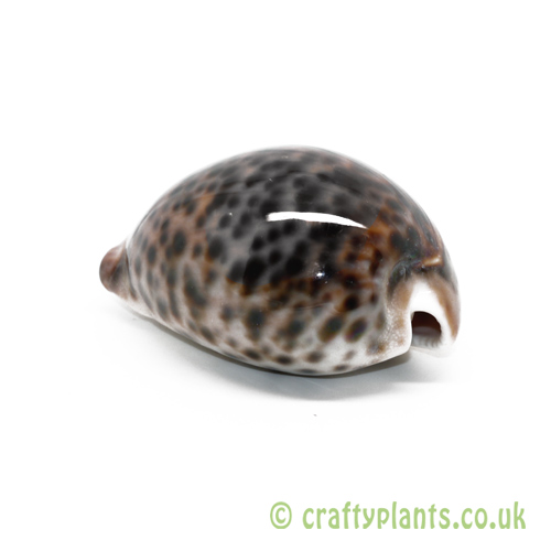 Cypraea Tigris (Tiger Cowrie) Shell by craftyplants.co.uk