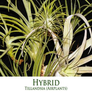HYBRID Tillandsia Airplants