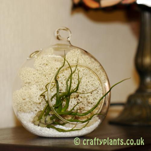 Craftyplants Tillandsia Airplant Kit B