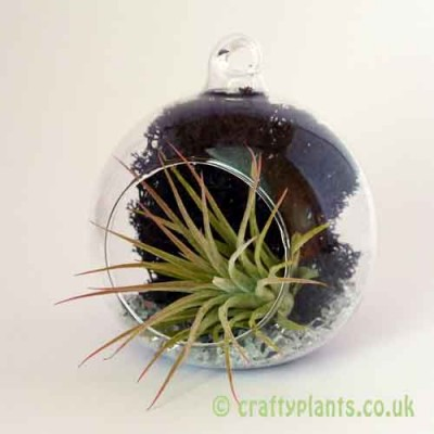 Craftyplants Airplant Kit D
