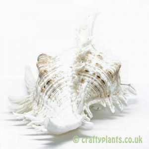 LARGE Chicoreus ramosus (White Murex) Shell – 15-20cm by craftyplants.co.uk