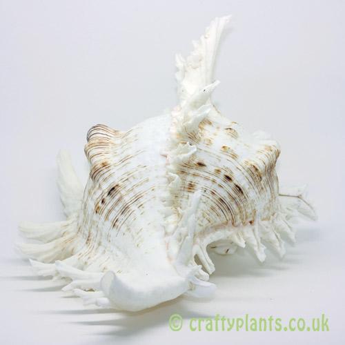 LARGE Chicoreus ramosus shell from craftyplants.co.uk