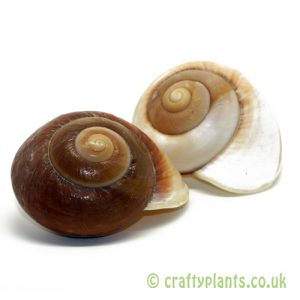 Landsnail Insomada Shell by craftyplants