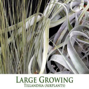 Large Growing Tillandsia Airplants
