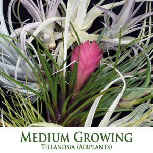 Medium Tillandsia Airplants