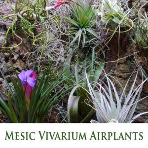 Tillandsia (Airplants) for Mesic Vivarium - Warm and Humid Habitat