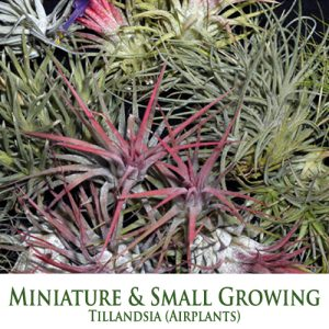 Miniature/ Small Growing Tillandsia Airplants