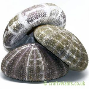 3 pack of 10-13cm Natural Alfonso Sea Urchins by craftyplants.co.uk