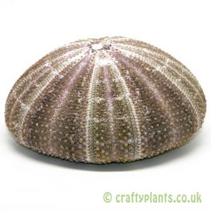 10-13cm Natural Alfonso Sea Urchin by craftyplants.co.uk