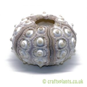 5-8cm Natural Sputnik Sea Urchin by craftyplants