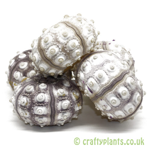 Pack of 5 Natural Sputnik Sea Urchin by craftyplants.co.uk