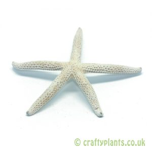 5-10cm Natural dried finger starfish by craftyplants