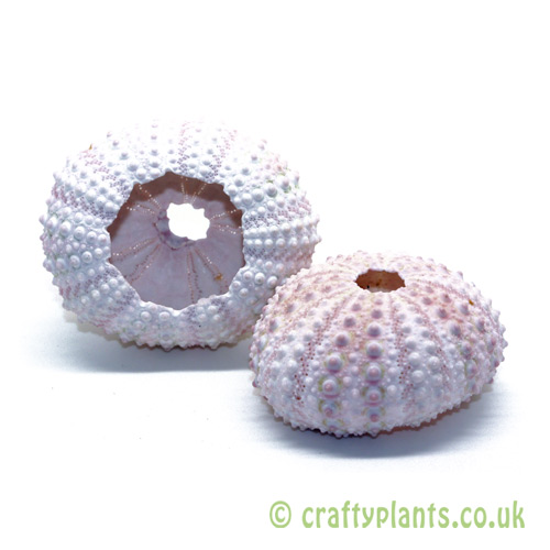 Natural pink sea urchin shells pack of 10 by craftyplants.co.uk