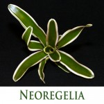 Neoregelia by Craftyplants