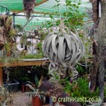 Tillandsia Xerographica in bud at Craftyplants Air Plant Nursery
