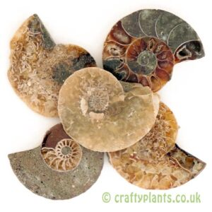 A pack of 5 polished ammonites from craftyplants