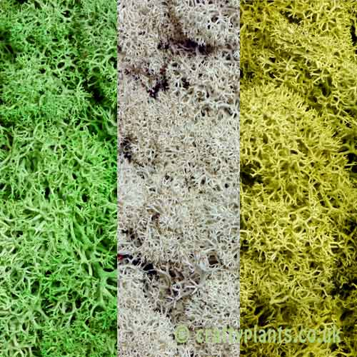 3 pack of 25g reindeer moss by craftyplants.co.uk