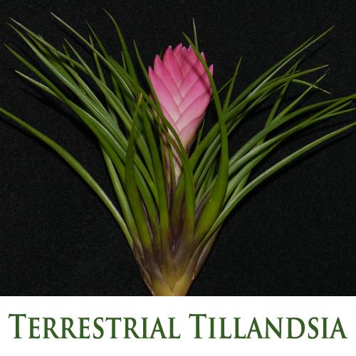 Terrestrial Tillandsia