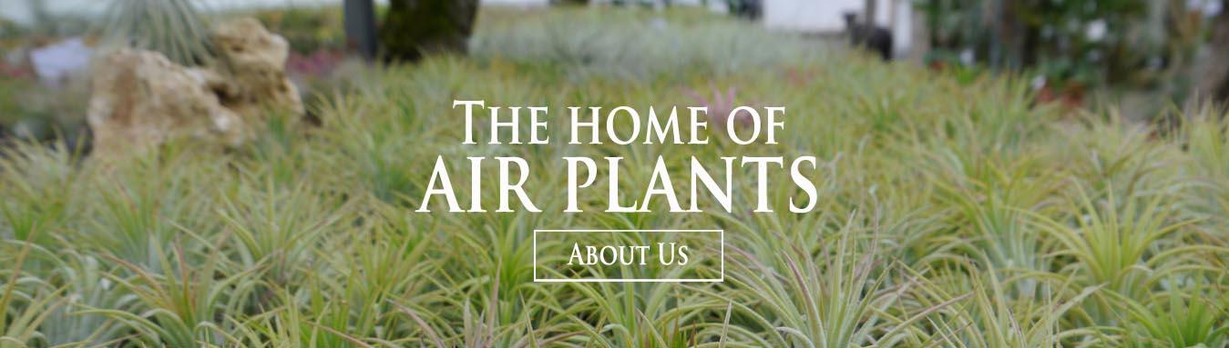 Buy Air Plants Online Tillandsia For Sale Uk Craftyplants Uk
