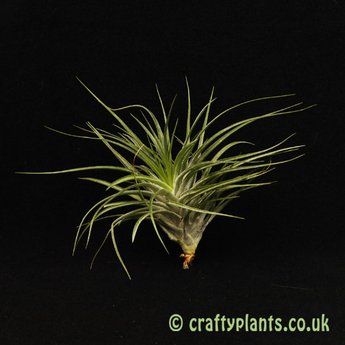 Tillandsia Stricta Amethyst from Craftyplants.co.uk