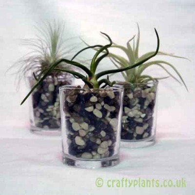 Tillandsia Triple Airplant Kit