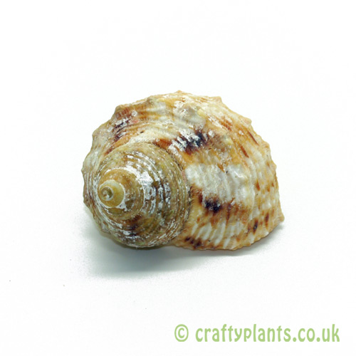 Turbo chrysostomus (Gold Mouth Turbo) Shell by craftyplants.co.uk
