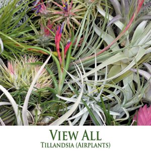 All Tillandsia Airplants