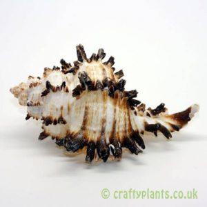 chicoreus chicoreum murex endivia shell 8-13cm from craftyplants.co.uk