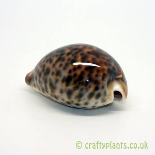 cypraea tigris tiger cowrie shell from craftyplants