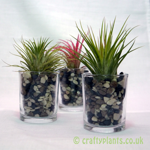 ionantha threesome airplant kit