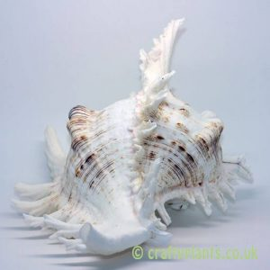 large chicoreus ramosus white murex shell 12-15cm from craftyplants