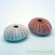 natural-pink-sea-urchin-shells-4-6cm-pack-of-2-550-p