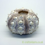 natural-sputnik-sea-urchin-5-8cm-1358-p