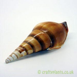 tibia insulaechorab arabian tibia shell 9-12cm