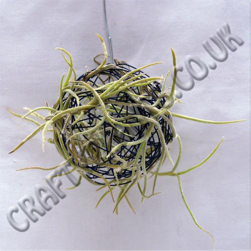 usneoides on ball