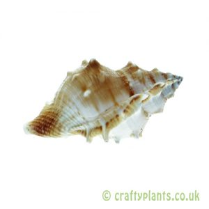 Bufonaria rana (Common Frog) Shell by craftyplants.co.uk