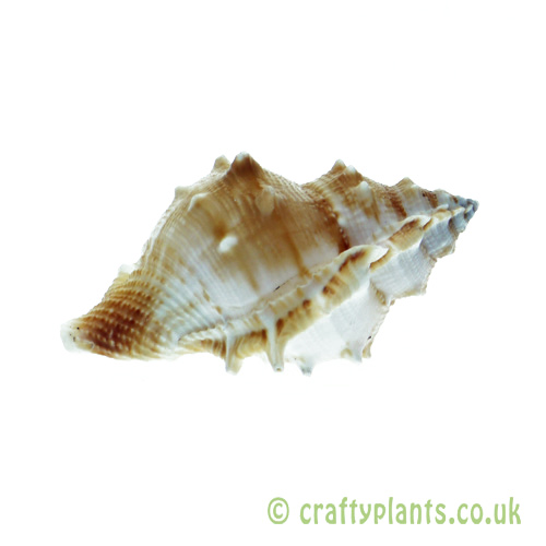 Bufonaria rana (Common Frog) Shell by craftyplants.co.uk