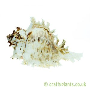 Chicoreus ramosus (white murex) shell from Craftyplants
