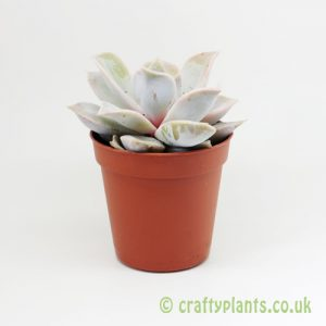 Echeveria lilacina in a 5.5cm pot from Craftyplants
