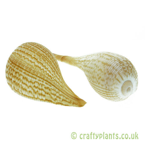 Pack of 2 Ficus graillis Shell (Fig Shell) by craftyplants.co.uk