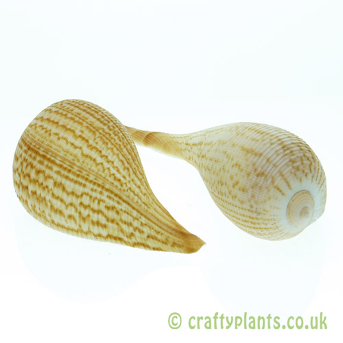 Ficus graillis shell (Fig shell) from Craftyplants