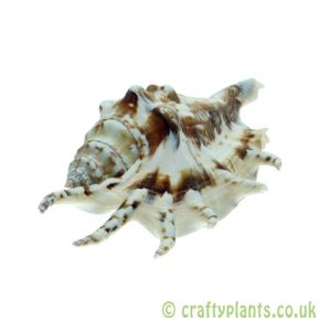 Lambis lambis (Spider Conch) Shell by craftyplants.co.uk